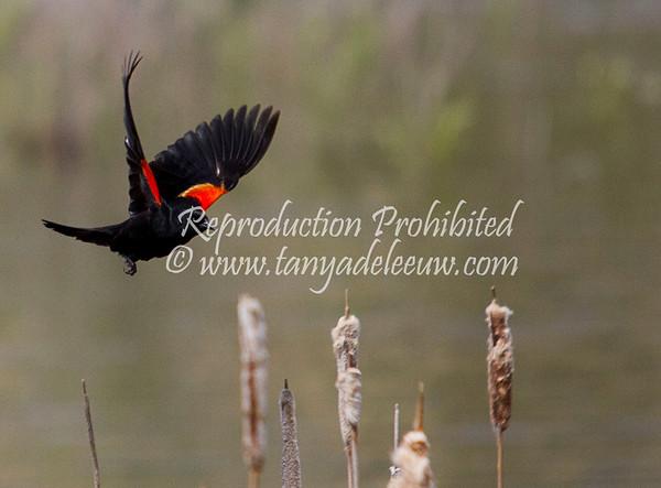 Red wing black bird @ James Chabot Park, June 2011.