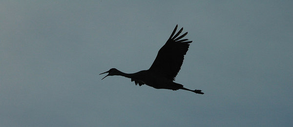 Sandhill Crane at Maple River Flooding