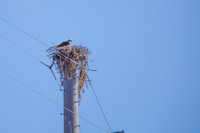 Osprey on nest at Miller Ferry, AL