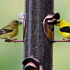 The resident gold finches enjoying the new feeder.
