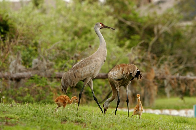 A Florida family of sand hill cranes.  One of the chicks is curious about the photographer!