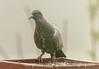 Rock Dove (Pegeon)