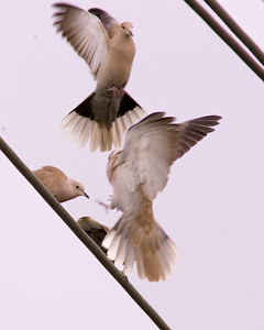 Doves on the wing.  No one told them that wires are not ok for nature photos.