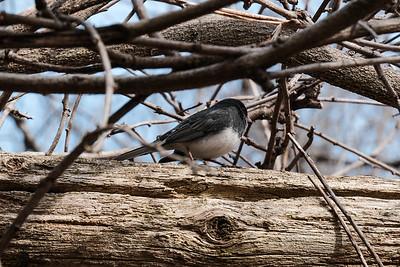 "Dark-eyed juncos or ""snowbird"" - Junco hyemalis, male."