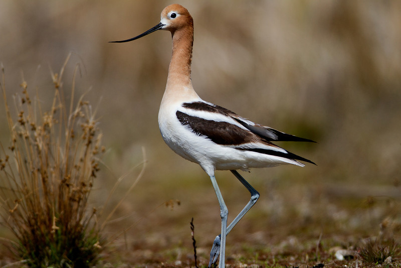 American Avocet<br /> Hasse Lake, AB<br /> May 13, 2012