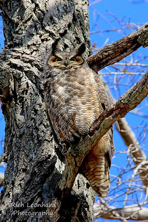 Great Horned Owl posing for me.  Long Island, NY.