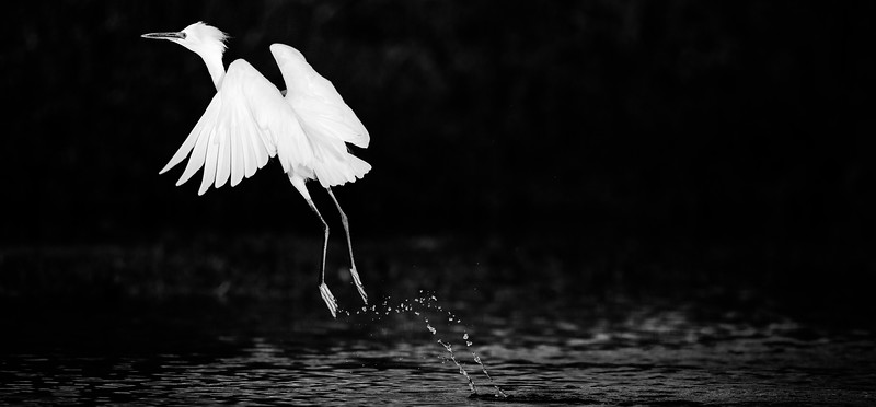 egret taking flight B&W