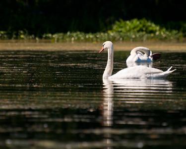 Swans at Nashua River (MA) on 20100702