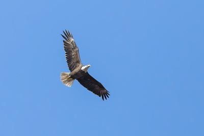Bald Eagle near Thomaston, AL