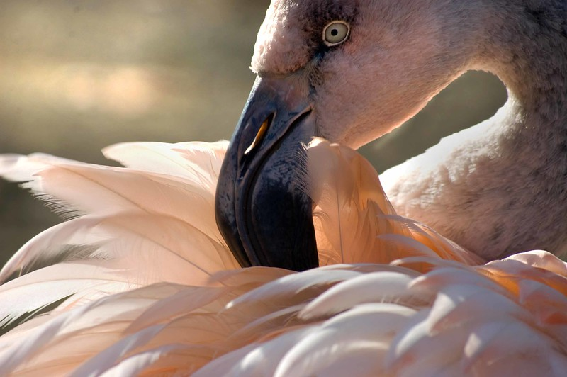 Flamingo-Prune-DSC_0533-B