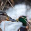 Mallard Ducks<br /> <br /> Taken March 18, 2012 - Downtown, Baltimore Harbor