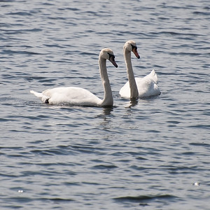 Swans at Whitehall Reservoir (MA) on 20100320