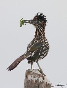 A Katydid meets it's demise at the hands (beak) of a roadrunner