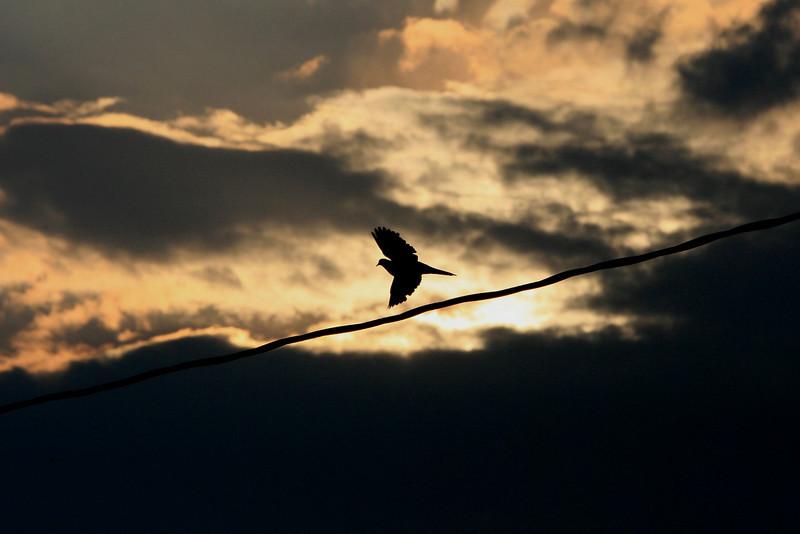 Dove in flight.