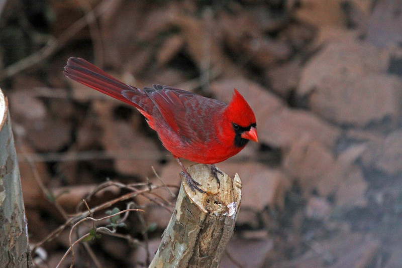 Cardinal in the swamp