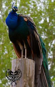 peacock2-1