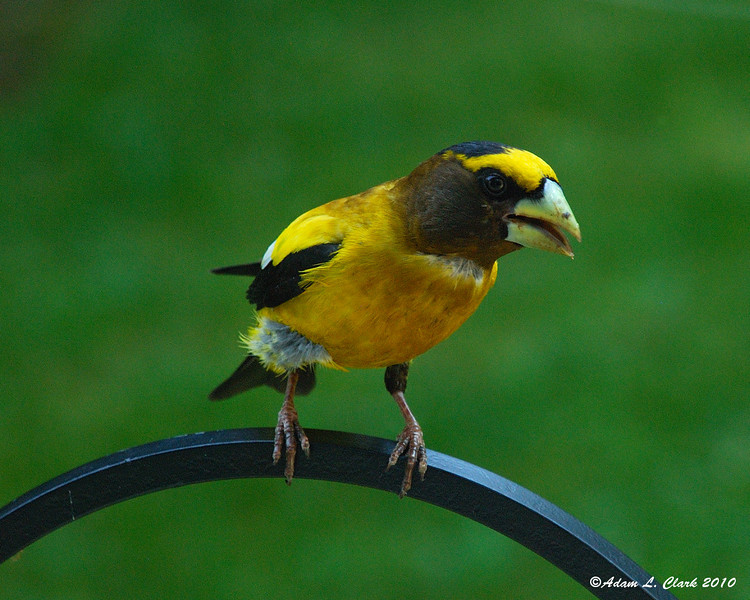 Evening Grosbeak looking in our living room window 7-5-10