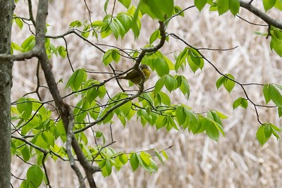 Common Yellowthroat warbler, female - Geothlypis trichas.