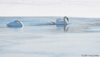 Icy swans, Ann Arbor, MI