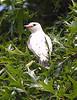 albino kingbird