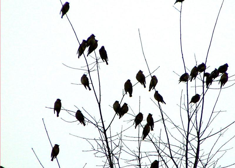 Silhouete of Cedar Waxwings