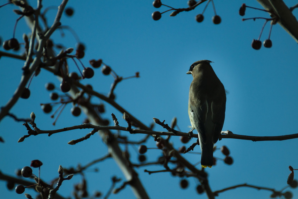 the cedar waxwings are back