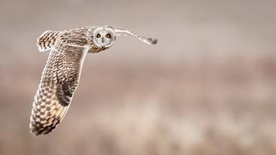 SE Owl in flight-9607