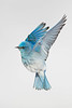 Male Mountain Bluebird hovering.