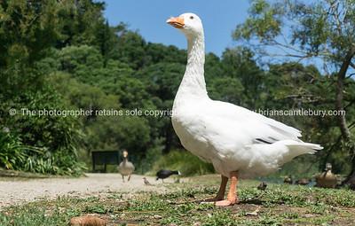 White goose Virginia Lake Wanganui New Zealand