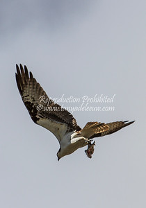 Osprey with two-fer catch! Windermere, June 2013