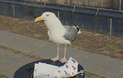 Thrash eating Seagull. Photo: Martin Bager.