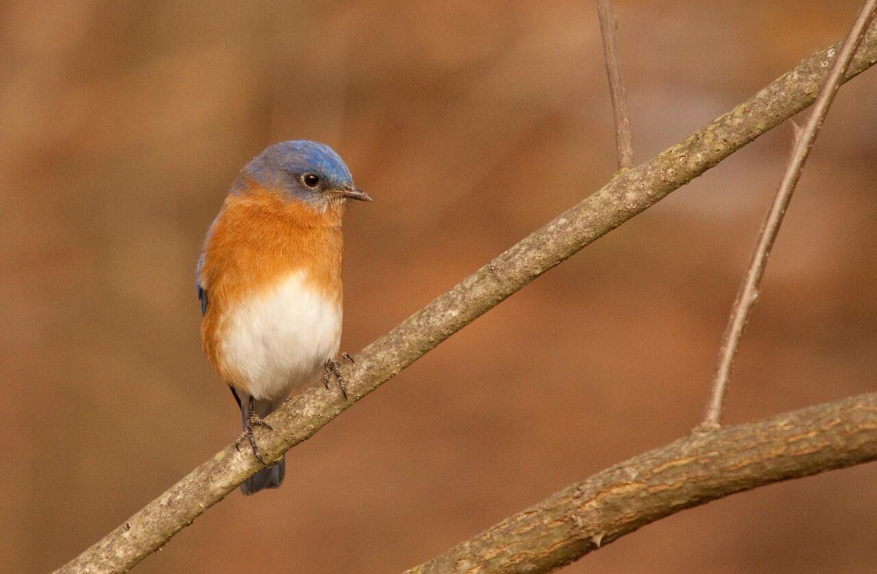 Winter Eastern Bluebird