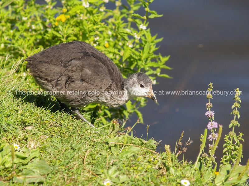 New Zealand Pukeko (swamp hen)
