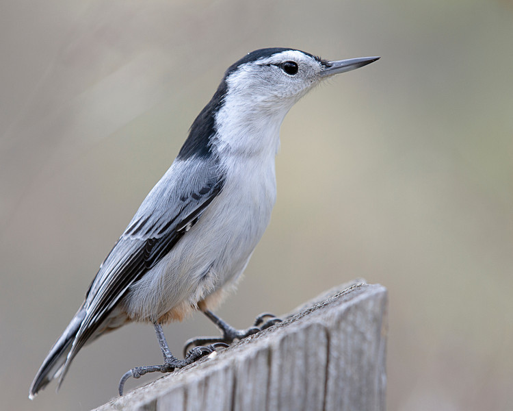 White-breasted Nuthatch<br /> Edmonton, Alberta