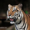 "Tiger Portrait, Canon EOS 5D + Canon 400mm f/5.6L "" Thailand"""