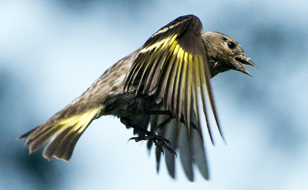 Pine Siskin in flight. These frequent the feeder along with the American Goldfinches and are often mistaken for female goldfinches. Note the bill is longer and more slender than the finch families.