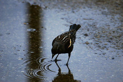 A female red-winged blackird takes a drink from a puddle