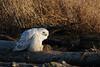 Snowy Owl at Boundary Bay, Delta, BC