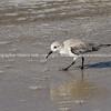 Sanderling seaching for food