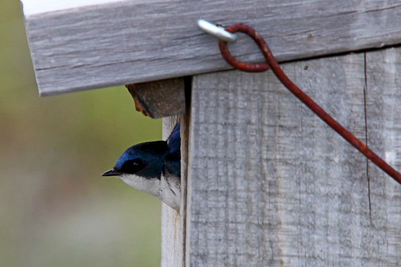 Tree Swallow Nesting