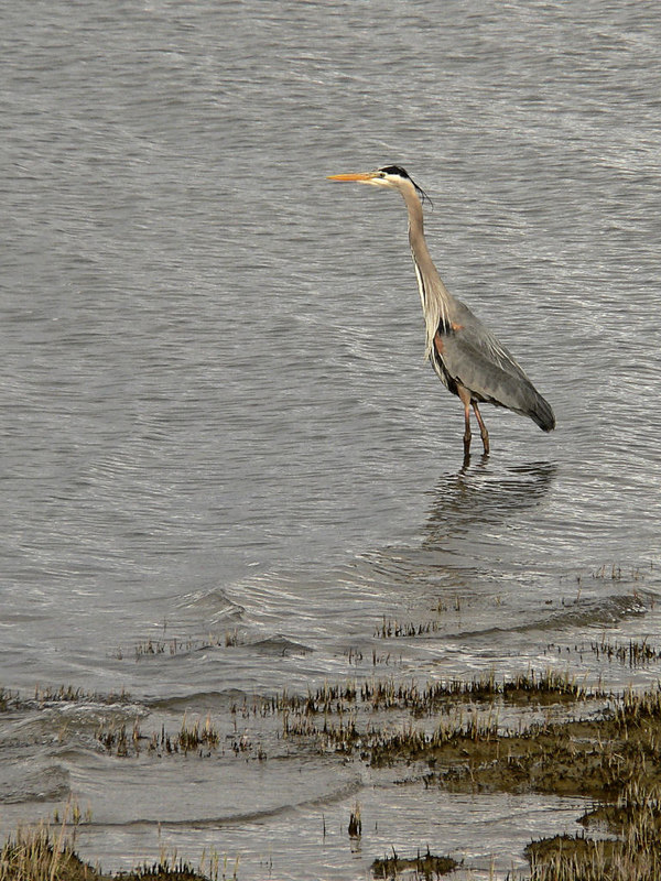 2006-04-14 Good Friday walk in the Terra Nova area of Richmond, BC.  A Great Blue Heron fishes in the estuary at the mouth of the Fraser River.