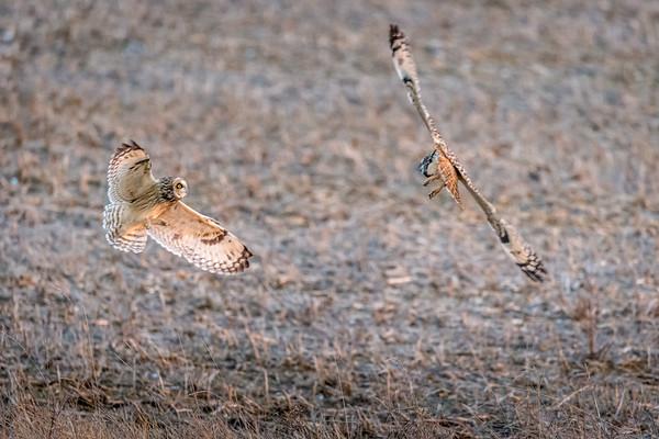 se owl fight -8872