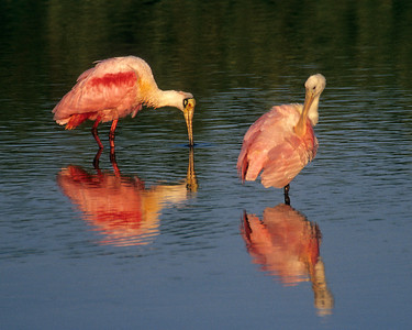 Roseate spoonbills at first light