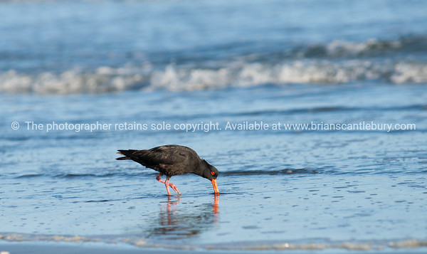 Black oystercatcher prises a shellfish from the sand at low tide.