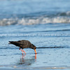 Oyster catcher foraging Ohope, Bay of Plenty New Zealand.