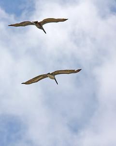 Brown Pelicans in Flight at Sailboat Bay, Gulf Shores, AL