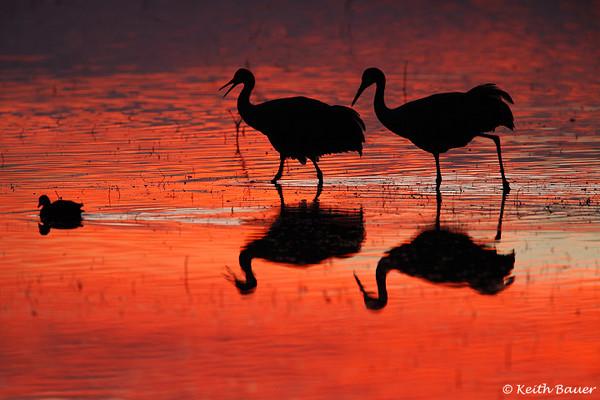 Sandhill Cranes in the Mornin' - Bosque Del Apache NWR