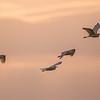 Great Egret Flyover At Sunset
