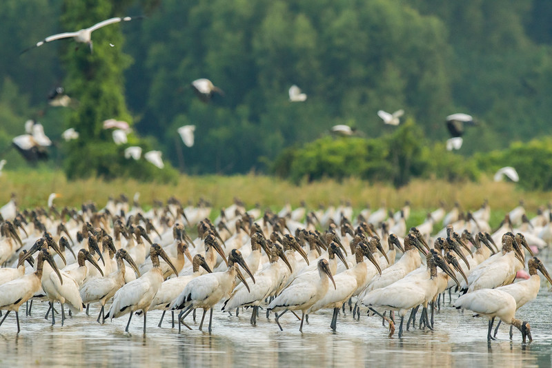 Wood Storks At St. Catherine Creek