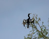 Anhinga Basking In The Sun
